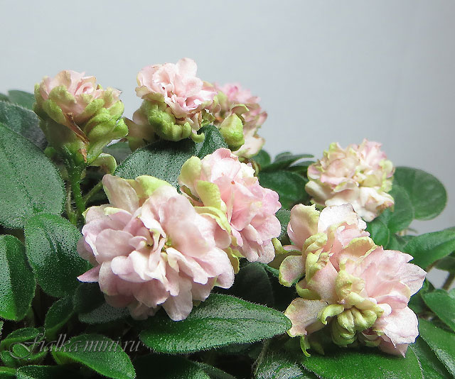 Pink Mint