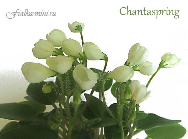 Chantaspring