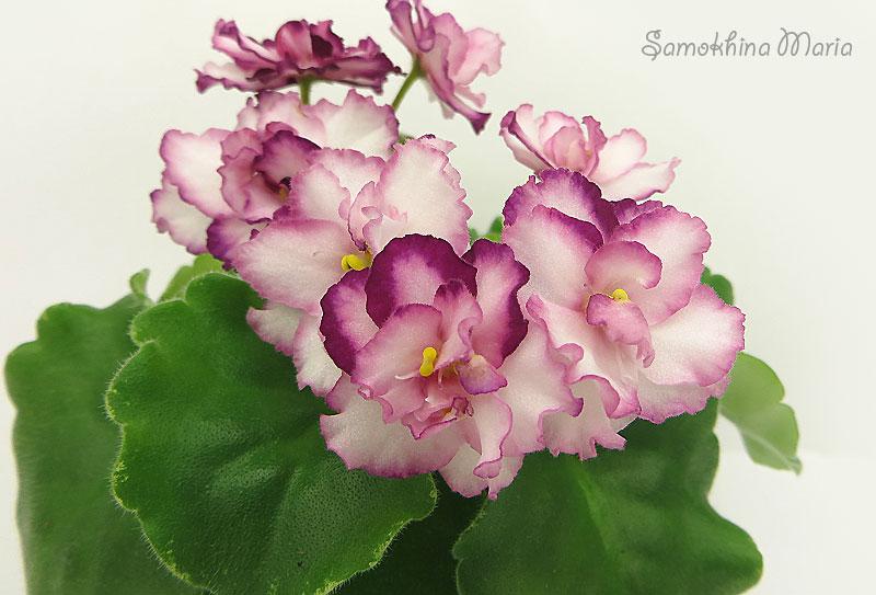 ле фарфоровая роза