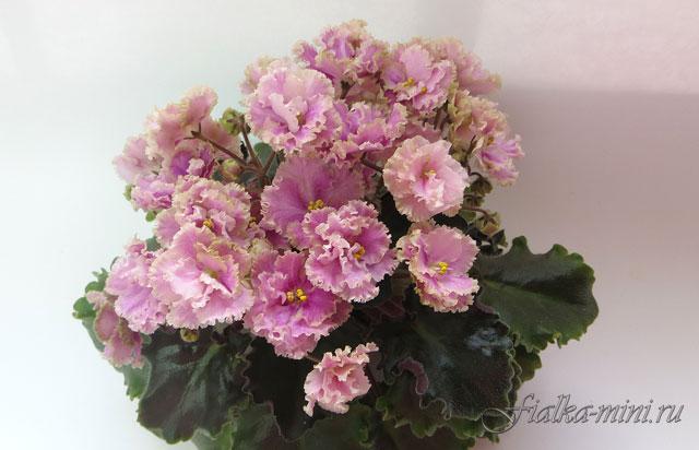 Rob's Antique Rose' ('Робз Антик Роуз')